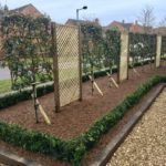Pleached photinia x fraseri, buxus hedging & oak borders 1.