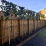 Pleached photinia privacy screen 1.